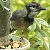 Blue Jay, 19 March 2005, Redwood Valley, Humboldt County, California