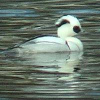 Smew videotaped on 28 January 2007 in Soulsbyville, California USA