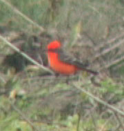 Vermilion Flycatcher, Los Banos, California, 2 January 2005